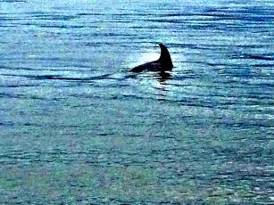 Dolphin, Ocean, Seabrook Island