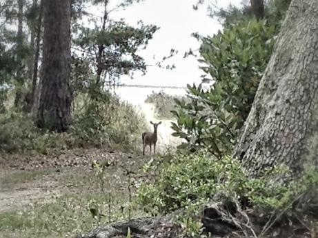Deer, Woods, Beach, Ocean, Seabrook Island