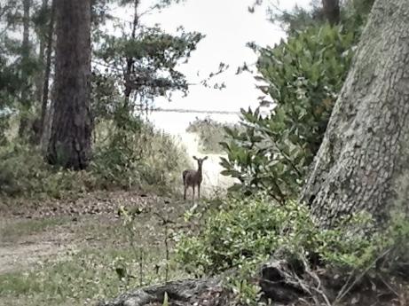 Deer, Woods, Beach, Ocean, Seabrook Island